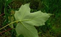 página inferior - Acer pseudoplatanus