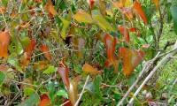 folhas, aspecto parcial, salsaparrilha - Smilax aspera