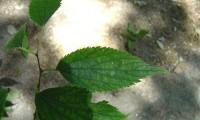 página superior do lódão-bastardo - Celtis australis