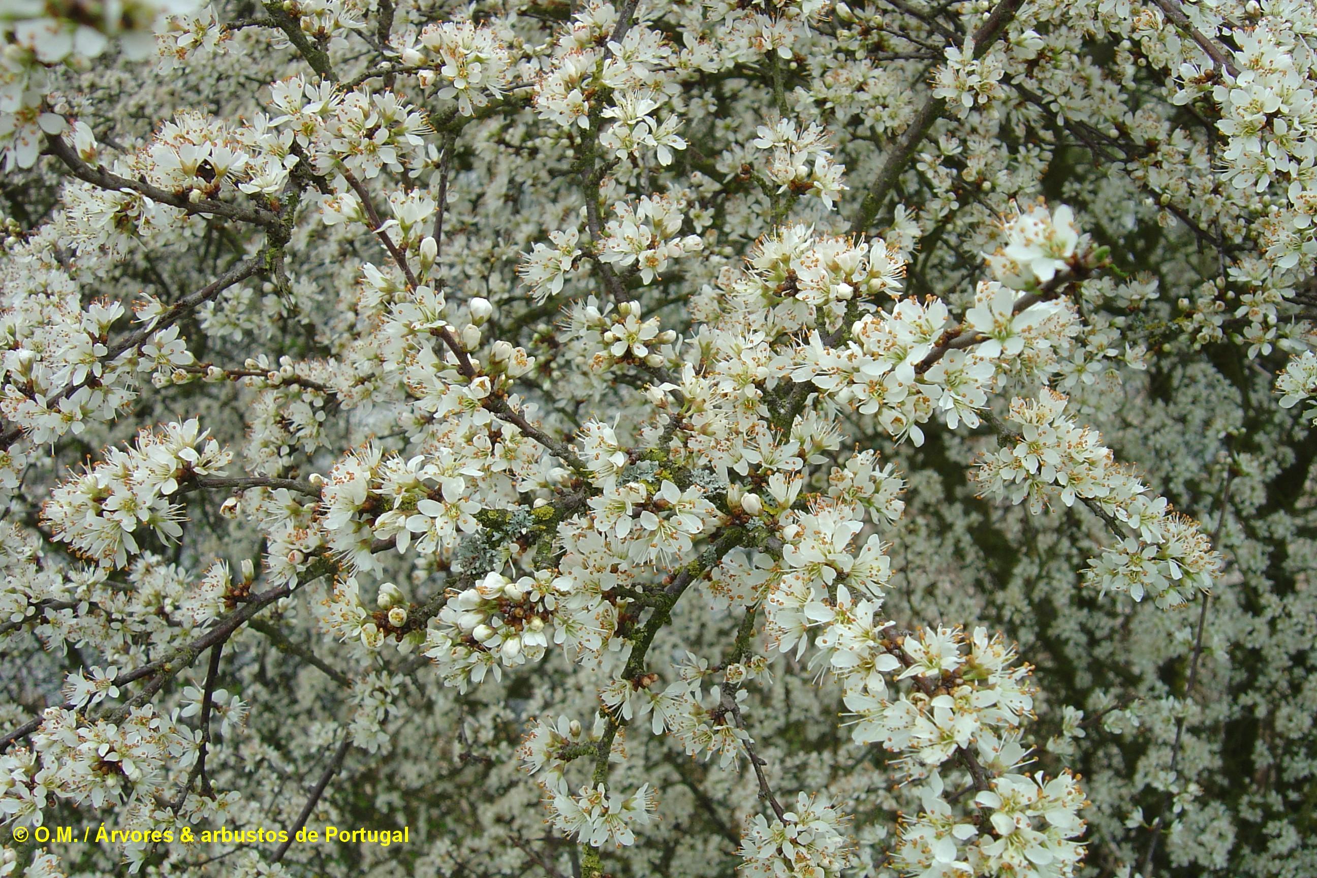 floração, aspecto parcial do abrunheiro-bravo – Prunus spinosa