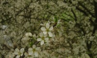 flores do abrunheiro-bravo – Prunus spinosa