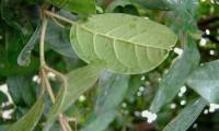 folha, página inferior do folhado - Viburnum tinus