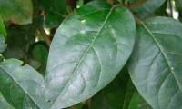 folha, página superior do folhado - Viburnum tinus