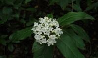 corimbo florido de folhado - Viburnum tinus