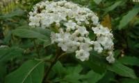 flores creme em corimbo, folhado - Viburnum tinus