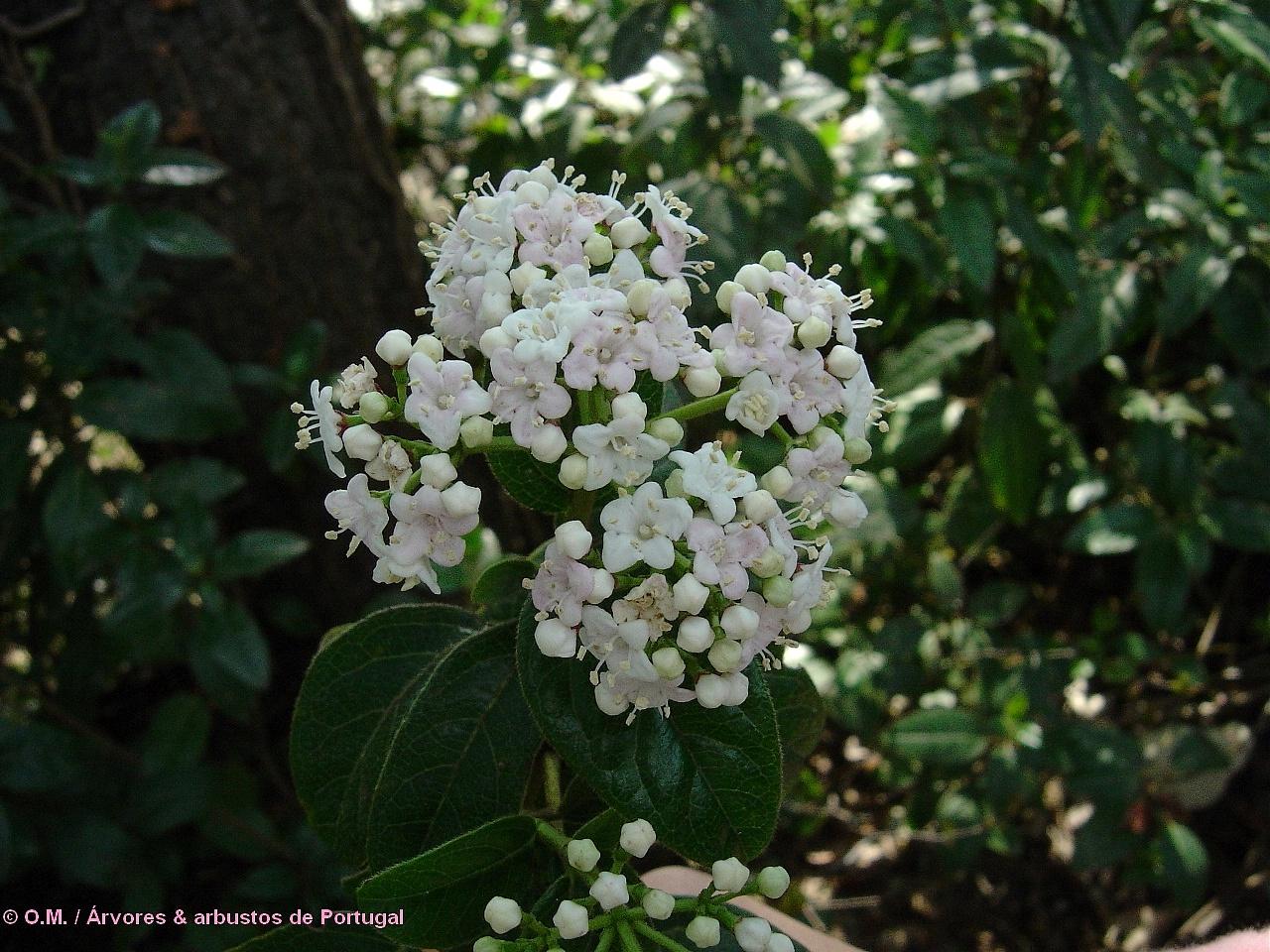 flores creme ou com veios rosados do folhado - Viburnum tinus