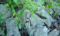 jovem pé de folhado - Viburnum tinus