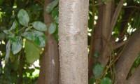 ritidoma com lenticelas, folhado - Viburnum tinus