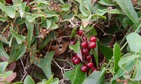 frutos, bagas imaturas, salsaparrilha - Smilax aspera