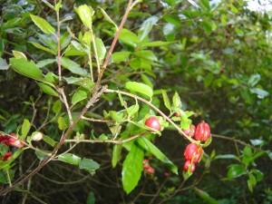 Galhas vermelhas - Carrasco, Q. coccifera