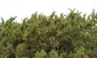 aspecto parcial, frutificação da sabina-da-praia - Juniperus turbinata subsp. turbinata