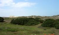 hábito prostrado da sabina-da-praia – Juniperus turbinata subsp. turbinata