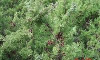 frutos maduros da sabina-da-praia – Juniperus turbinata subsp. turbinata
