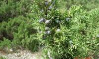 frutos imaturos da sabina-da-praia – Juniperus turbinata subsp. turbinata