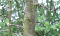 ritidoma e espinhos do abrunheiro-bravo – Prunus spinosa