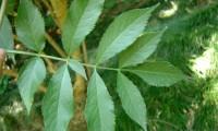 folha, página superior, sabugueiro – Sambucus nigra