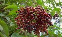 corimbo de frutos, bagas em maturação do sabugueiro – Sambucus nigra