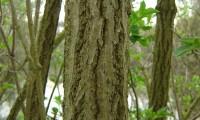 ritidoma de sabugueiro – Sambucus nigra