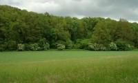sabugueiros em flor, orla de floresta – Sambucus nigra