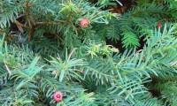 arilos de teixo com sementes visíveis – Taxus baccata