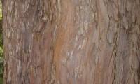 ritidoma esfoliado do teixo – Taxus baccata
