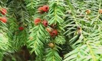 aspecto parcial arilos, frutos maduros (vermelhos), do teixo – Taxus baccata