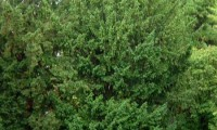 hábito do teixo – Taxus baccata