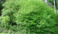 hábito da aveleira – Corylus avellana