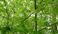 folhagem primaveril da aveleira – Corylus avellana