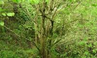 numerosos caules da aveleira – Corylus avellana