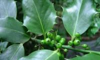 frutos imaturos do azevinho – Ilex aquifolium