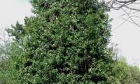 hábito colunar do azevinho – Ilex aquifolium