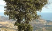 hábito da azinheira, azinho - Quercus rotundifolia