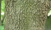 ritidoma adulto de azinheira - Quercus rotundifolia