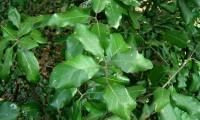 páginas superiores de azinheira - Quercus rotundifolia