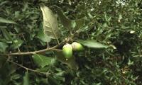 páginas superiores, inferiores e bolotas de azinheira - Quercus rotundifolia