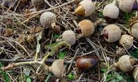glandes nas suas cúpulas hemisféricas, azinheira - Quercus rotundifolia