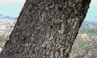 tronco e aspecto do ritidoma adulto de azinheira - Quercus rotundifolia