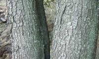 ritidoma de azinheira jovem - Quercus rotundifolia