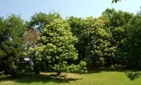 aspecto da floração do castanheiro - Castanea sativa