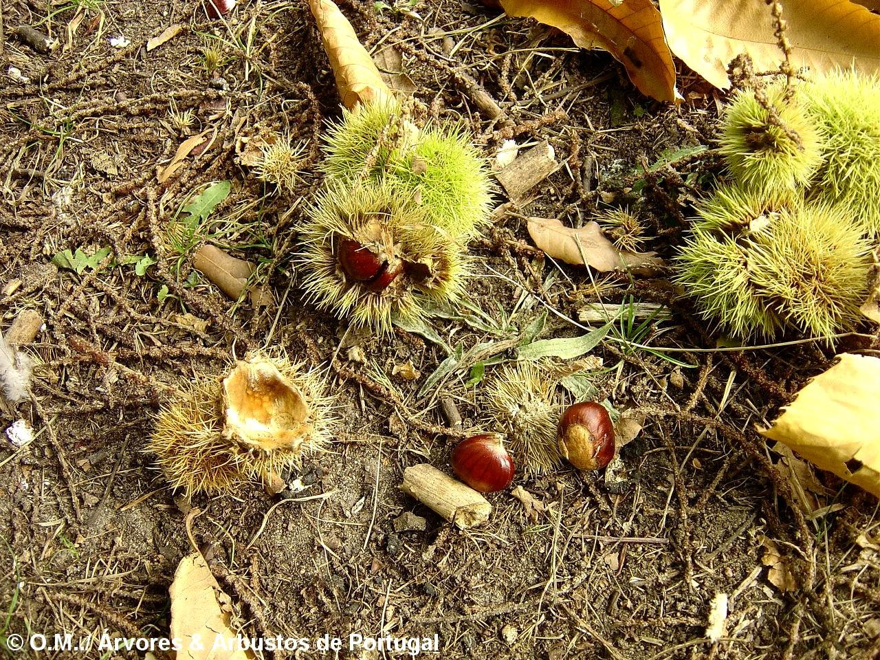 castanhas e ouriços do castanheiro - Castanea sativa