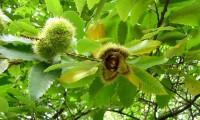 ouriço aberto do castanheiro - Castanea sativa