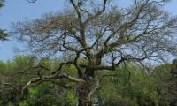 hábito decíduo do castanheiro - Castanea sativa