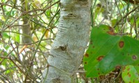 ritidoma jovem do carrasco – Quercus coccifera