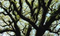 pernadas do cerquinho, carvalho-português - Quercus faginea subsp. broteroi
