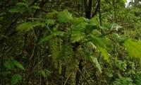 amentilhos do cerquinho, carvalho-português - Quercus faginea subsp. broteroi
