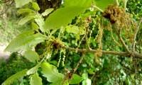 amentilhos (flores masculinas) do cerquinho, carvalho-português - Quercus faginea subsp. broteroi