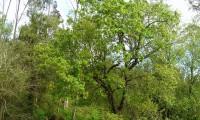 hábito do cerquinho, carvalho-português - Quercus faginea subsp. broteroi
