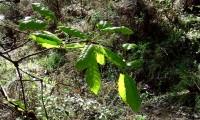 folhas primaveris do cerquinho, carvalho-português - Quercus faginea subsp. broteroi