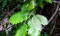 páginas superiores e inferiores do cerquinho, carvalho-português - Quercus faginea subsp. broteroi